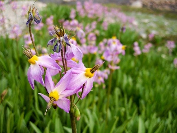 wild flowers on the John Muir Trail Through Hike